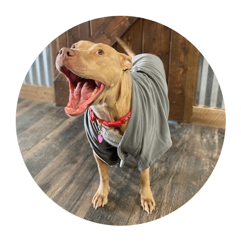 the cutest smiling golden pit bull wearing a vest